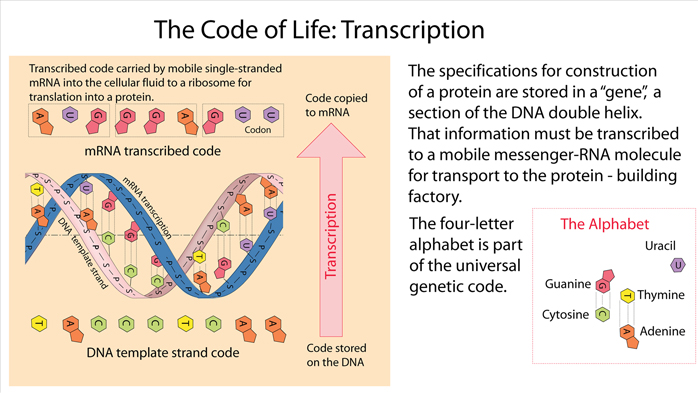 Evidence of gods hand in the creation of life the genetic code is used to store protein blueprints in dna written in an alphabet of bases in the form of triplets called codons malvernweather Choice Image