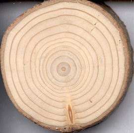 Bristlecone pine tree ring dating dendrochronology 7