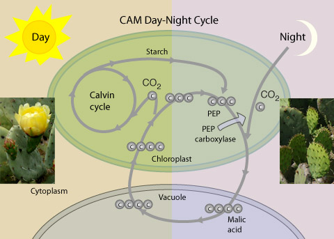 Systems of Photosynthesis
