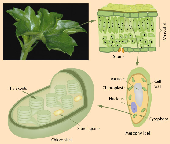 what pigments are found in the chloroplast