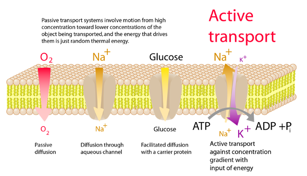 Active Transport Across Cell Membranes
