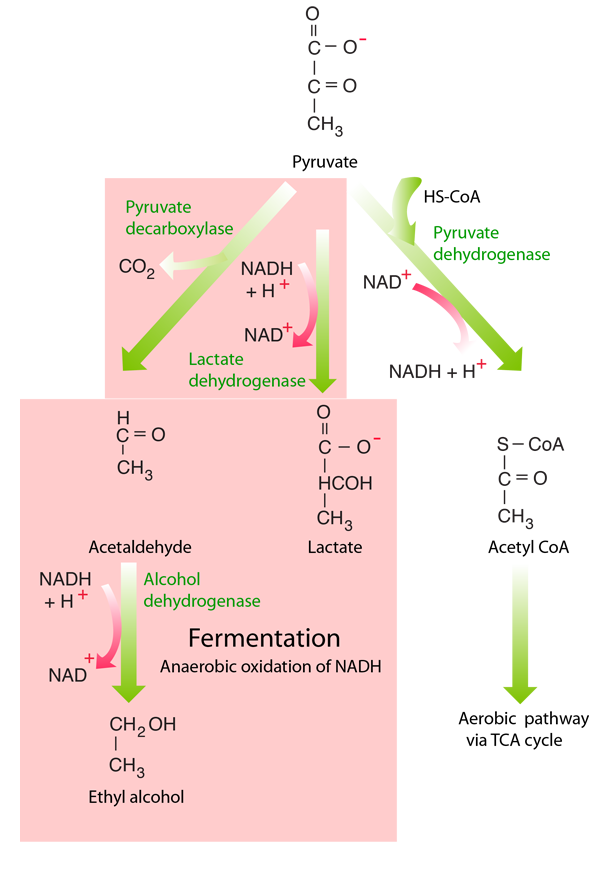 Cellular respiration anaerobic respiration both glycolysis and fermentation takes place in the fluid portion of the cytoplasm whereas the bulk of the energy yield of aerobic ccuart Image collections