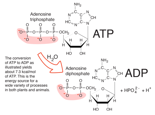 3 parts of atp molecule