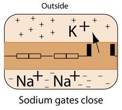 opening of sodium gates typically leads to