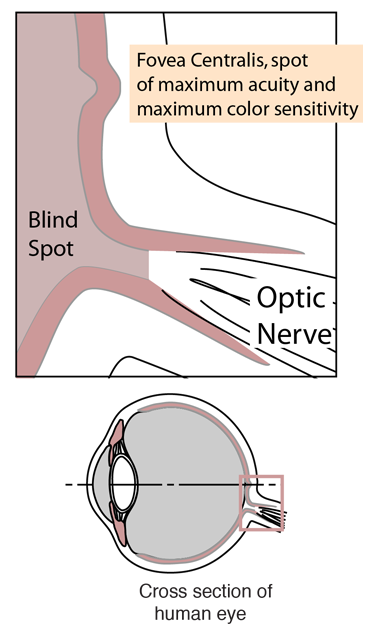 The Retina Of The Human Eye